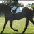 Irish Sport Horse - Image 3
