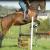 Irish Sport Horse - Image 2
